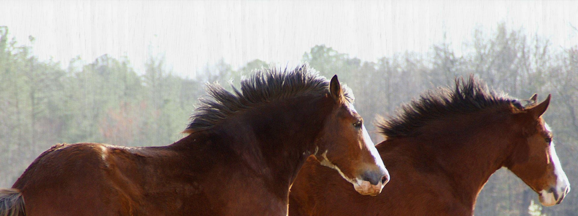 Clydesdale Horses Running Through Field