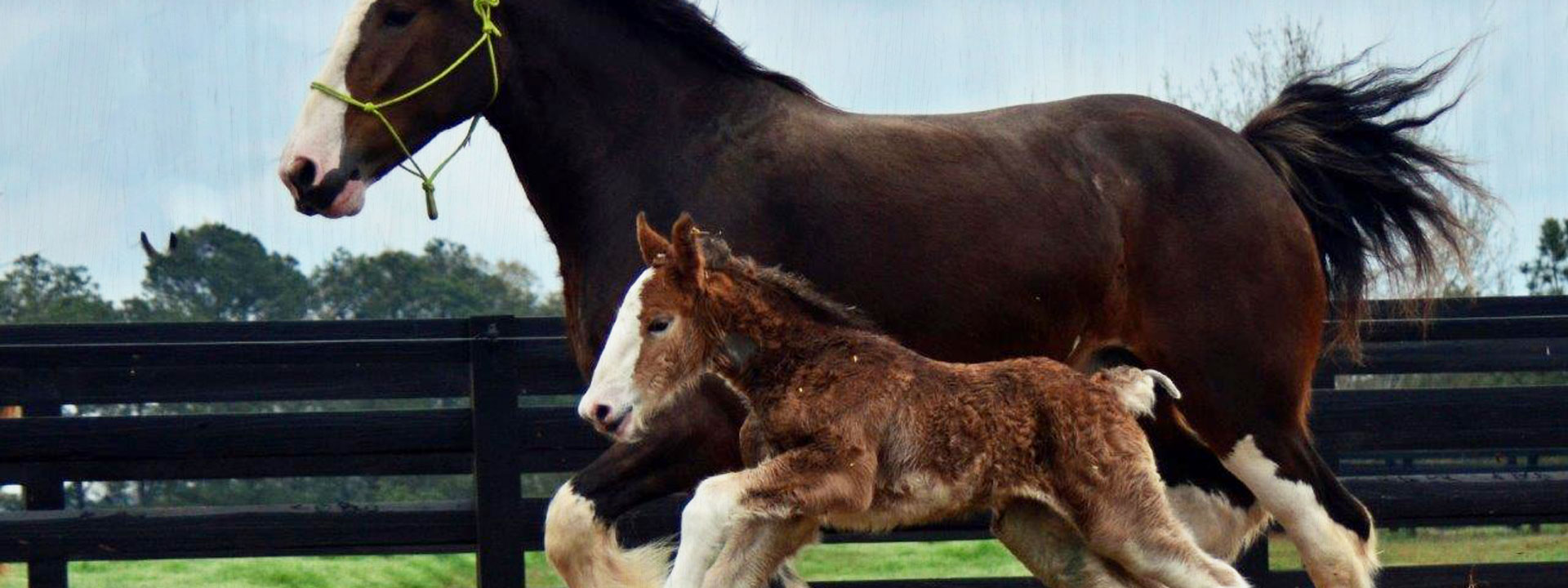Mother and Child Clydesdales