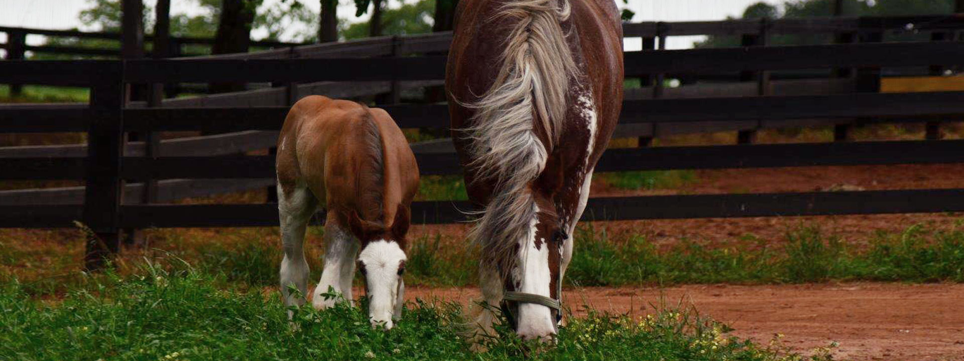 Clydesdales Eating