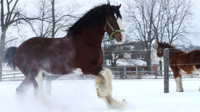 clydesdale breeders of the usa photo gallery